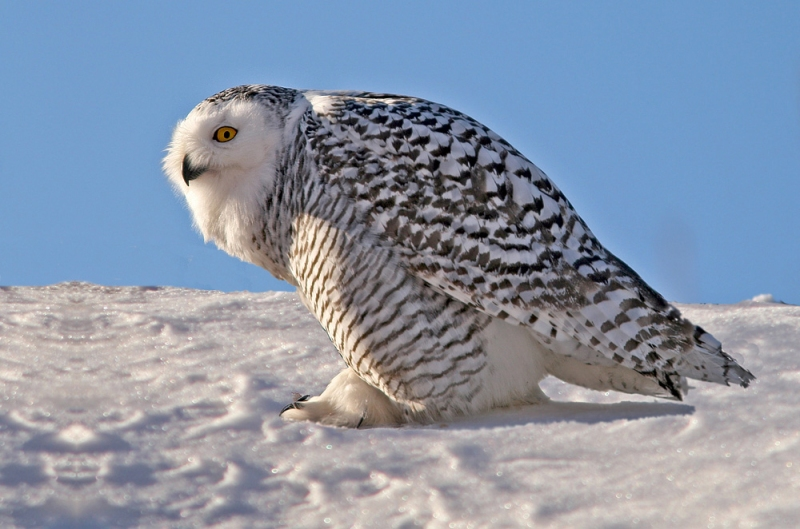 Snowy Owls continued throughout the winter of 2014, following a major invasion the previous fall. This one was photographed in St. John's in early January.
