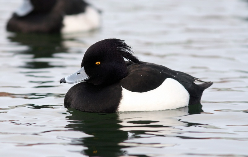 The classy looking Tufted Duck is another popular bird for visitors, and we saw nearly 70 this past week!