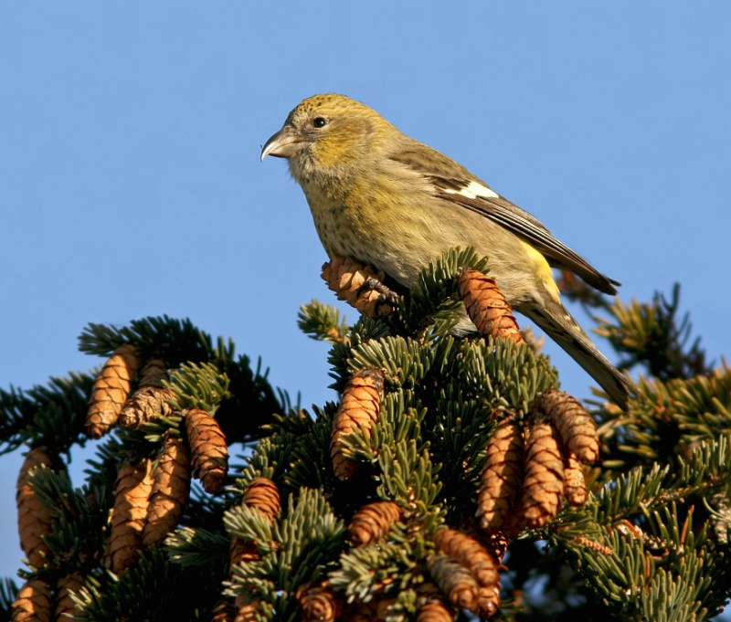 This is one of three immature White-winged Crossbills we came across, feasting on the abundant white spruce cones. Most other conifers have had a poor cone crop this year.