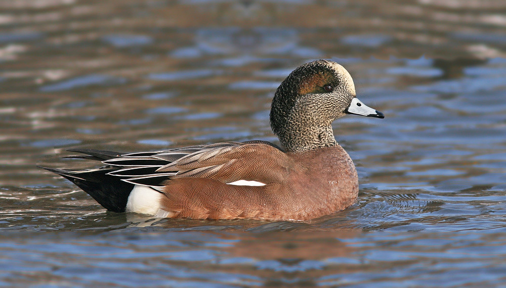American Wigeon, the more expected species on this side of the Atlantic, aren't too shabby themselves.