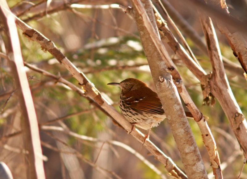 """This Brown Thrasher, hanging out at Long Pond in Pippy Park, is a rare visitor to Newfoundland and the first """"gettable"""" one in more than a decade."""