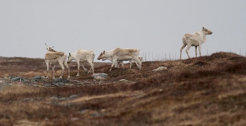 The Avalon herd of Woodland Caribou has seen incredible decline over the past few decades, so seeing a group of 32 was very heartwarming. Lovely animals!