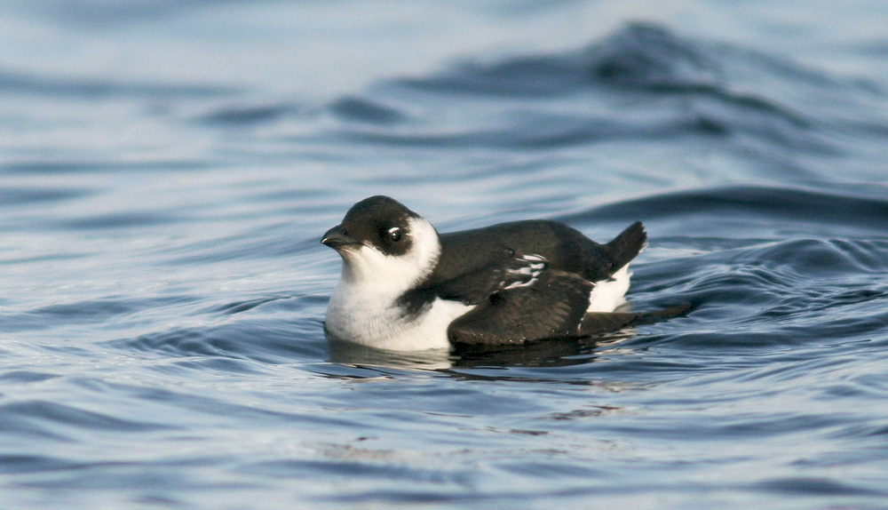 Dovekie Is Among The Most Sought After Species By Visiting Birders And January Is Prime Time To See Them