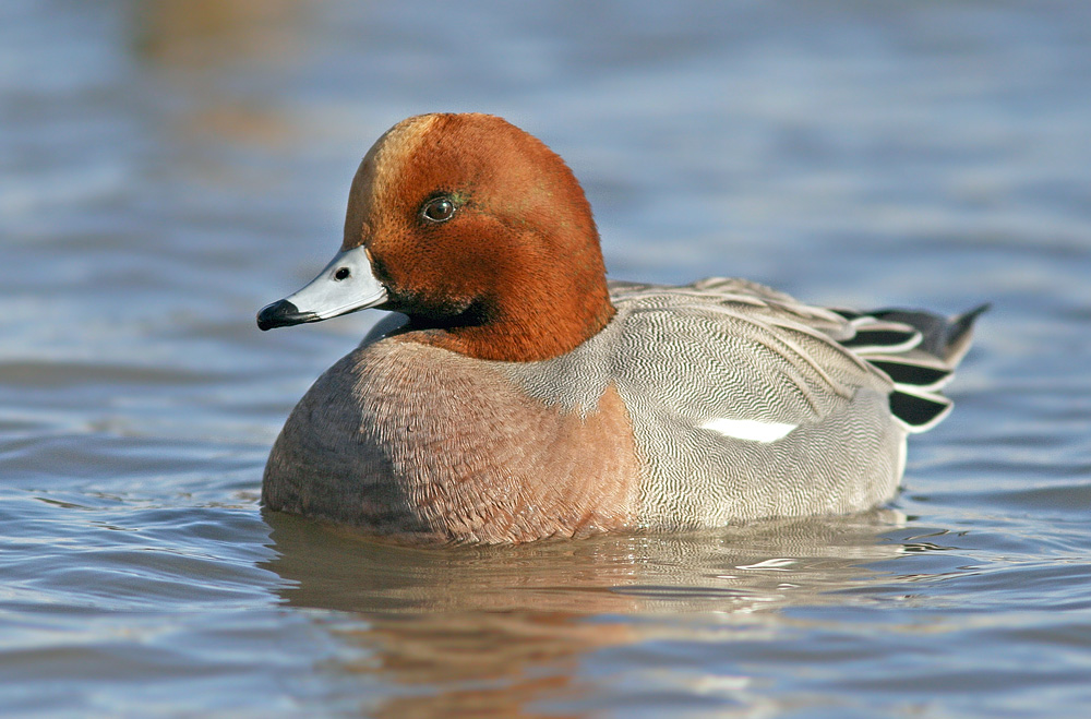Eurasian Wigeon Are Uncommon Visitors To Newfoundland But They Sure Do Add A Little Spice