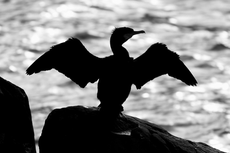 A Great Cormorant drying its wings in the heart of historic St. John's.