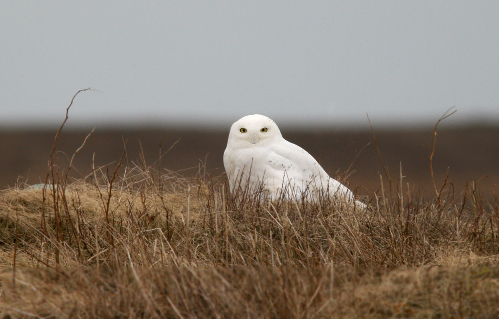 It's been another great season for Snowy Owls. As usual, most tend to young ones - so this adult male was a nice surprise!