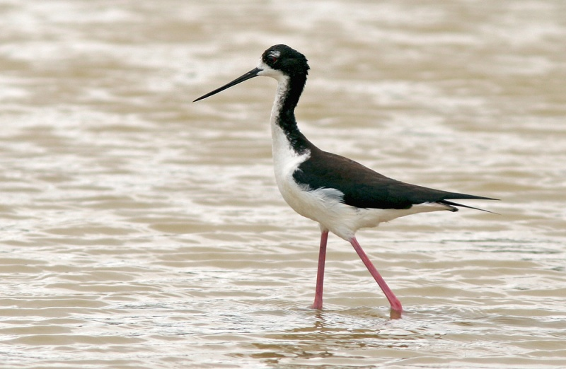 Hawaiian (Black-necked) Stilt