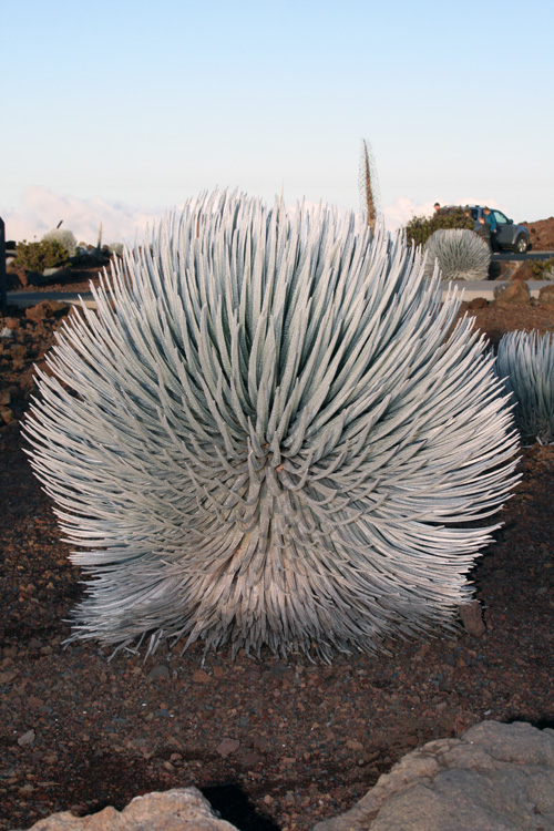 Haleakala Silversword is a threatened species that grows only on the high elevation, cinder slopes of this volcano. This resilient plant is strong enough to resist the wind and freezing temperature of this altitude, dehydration and the sun.