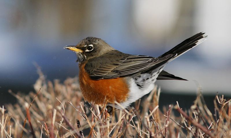 Even to non-birders, the return of bright and vocal American Robins is a hallmark of spring in Newfoundland.