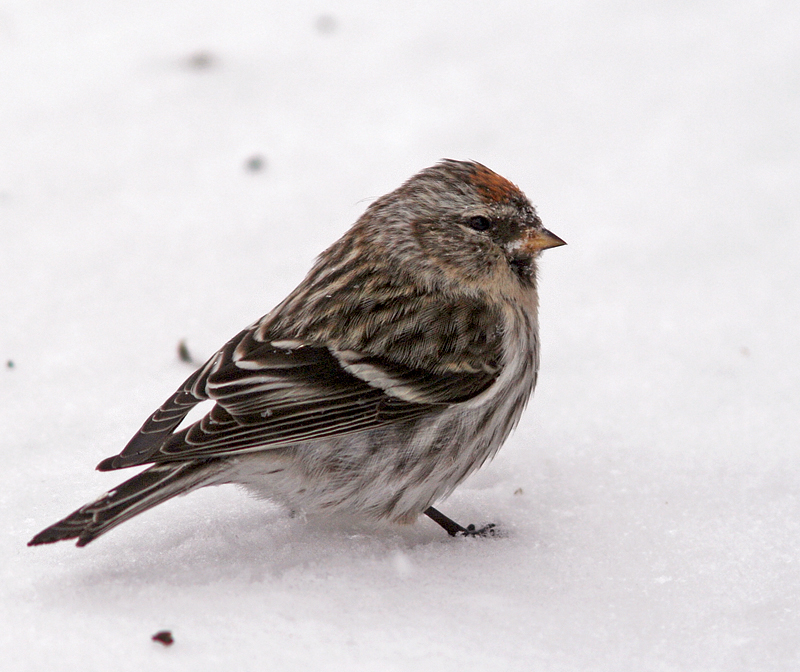 Common Redpolls have been scarce on the Avalon in recent years, so I was happy to encoutner a few during a recent visit to my parents' house in Notre Dame Bay. I almost forgot how much I like them!