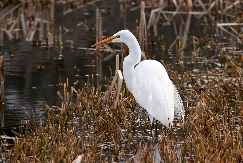 Despite the ice and snow, this fella seemed to be doing quite fine and catching plenty of small fish. Like most egrets that arrive here in early spring, it will likely make its way back south once the winds cooperate.