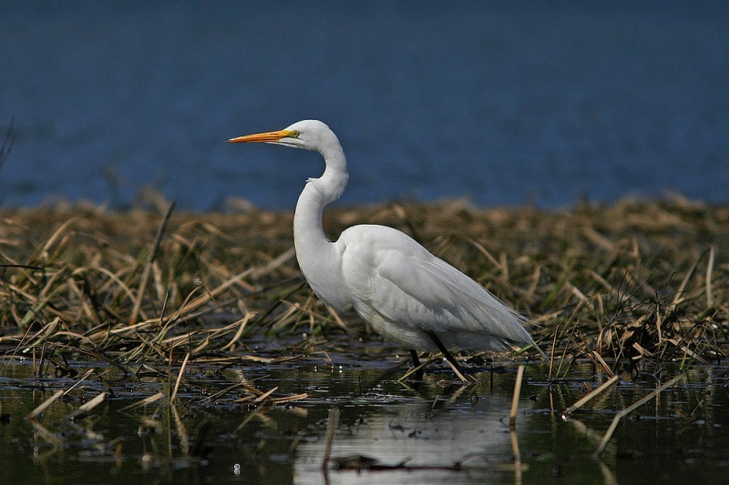 Long Pond, in the centre of St. John's, has seen it's share of wayward egrets. I photographed this one there in mid-April several years ago.