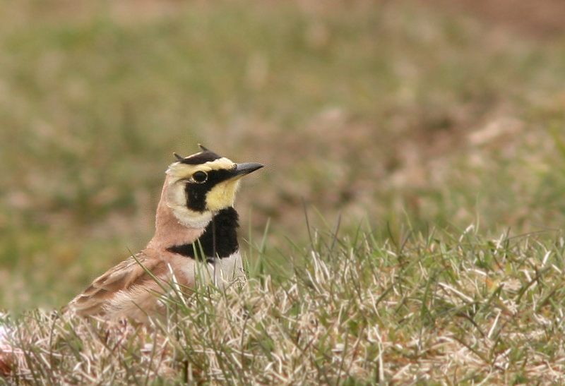 Horned Lark also begin returning at the very first crack of spring - often the first migrant songbird to return.