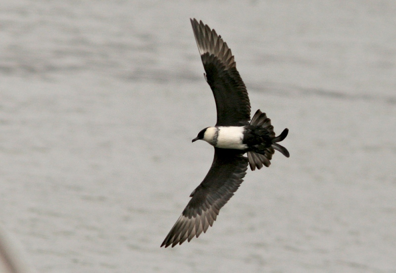 Most of the birds reported have been Pomarine Jaegers ...