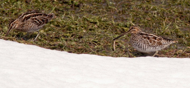 Here are the two Wilson's Snipe that made an appearance during my visit to Ferryland last week. A far more interesting snipe failed to show up for the party!