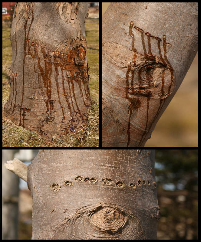 The top photos in this collage show fresh holes with sap running down the tree (the ons on the right were drilled while I was watching!). Below is a line of old holes from a previous year, indicating that this yard has seen sapsuckers before. The homeowner reports that one or two have been visiting every spring for a number of years now.