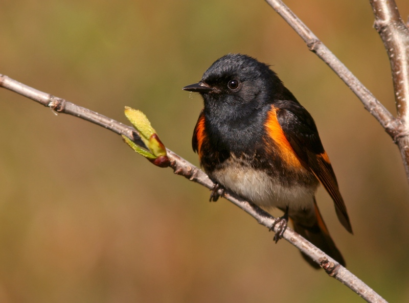 The forests of the Codroy Valley seem more alive with birds than anywhere else in the province. Even relatively common species like this American Redstart seem to be present in far greater numbers.