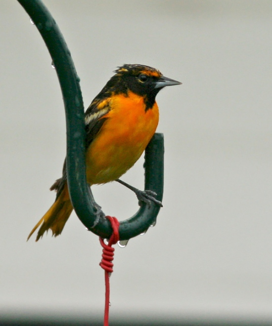 This young Baltimore Oriole was visiting a hummingbird feeder in Millville ... another Maritime species that occasionally makes its way to the Codroy for a visit in spring.