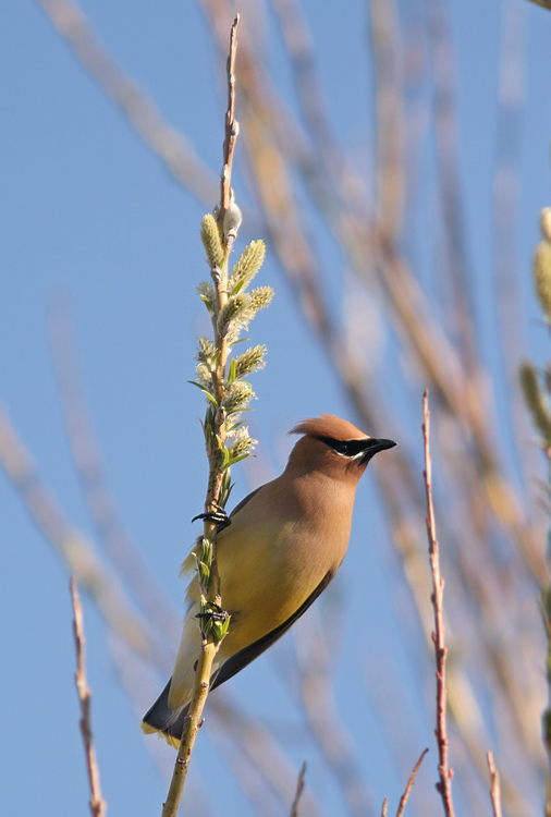 Cedar Waxwings were abundant in some areas of the valley this spring.