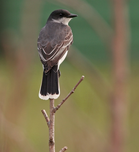 Eastern Kingbirds are regular visitors from the Maritime provinces in spring, and may even breed here sporadically. A number were spotted last week, including this obliging bird in Upper Ferry.