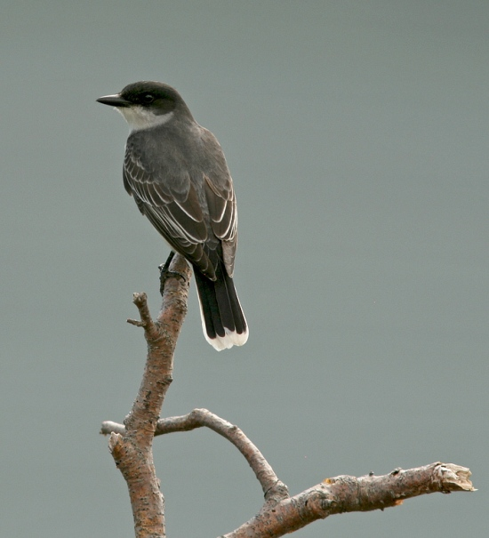 Two Eastern Kingbirds even dropped in to visit us at our cabins, flycatching from the fence in front of our deck. Goes to show that you don't have to look hard to find great birds in the Codroy Valley!