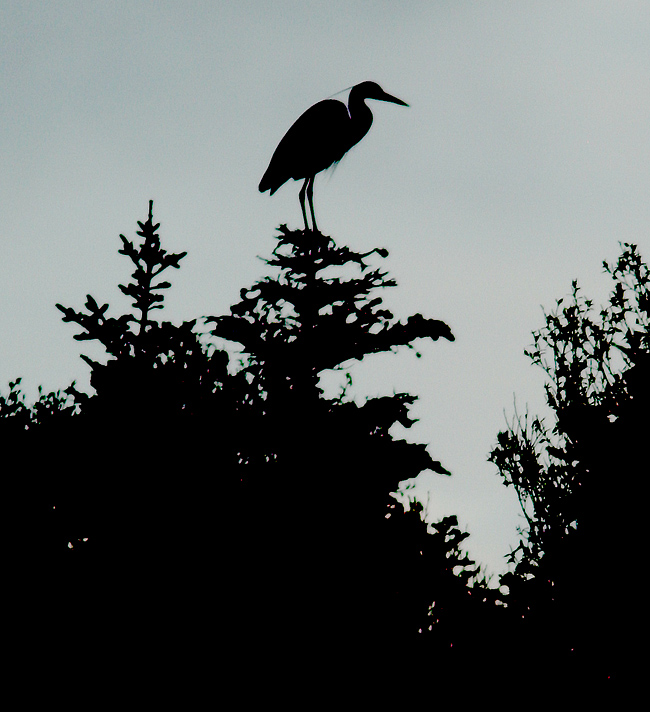 Great Blue Heron is the unofficial mascot for the Codroy Valley. It is the only place in our province that this species is known ot breed (although anecdotally it may be spreading). This one greeted us from a treetop overlooking the estuary at sunrise.