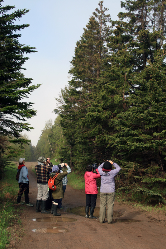 My birding group enjoying looks at the flame-orange undersides of a Blackburnian Warbler, singing from the top of a black spruce.