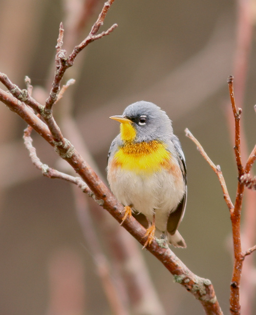 Northern Parula is another Maritime species that hs expanded across the Gulf of St. Lawrence and now seems to breed regularly (though in small numbers) in the Codroy Valley.