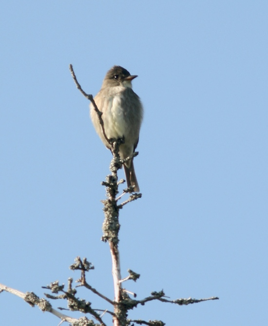 We were lucky enough to bump into this Olive-sided Flycatcher along the Wetland Trail on our very first group walk. It wasn't calling, but seemed at home on top of a large dead snag. This species is another provincial
