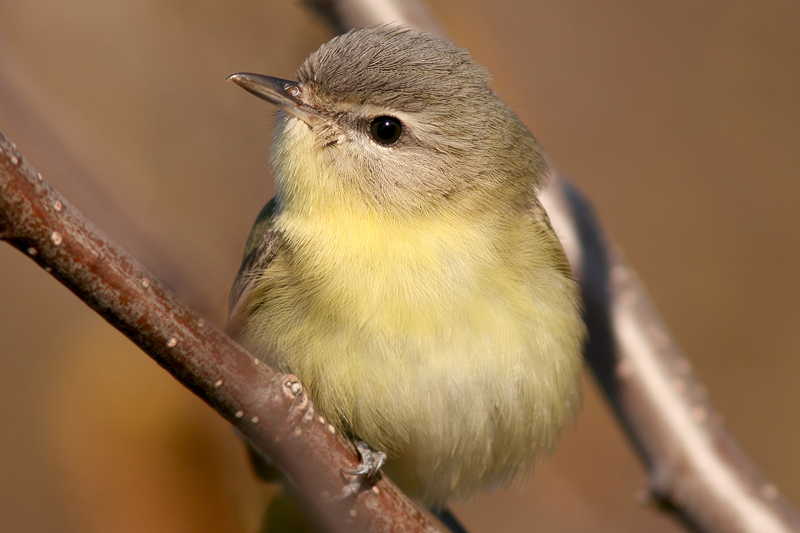 Philadelphia Vireo is another species that occurs more regularly here than the rest of the island - it is scarce at best in other parts of western Newfoundland and rare anywhere else.