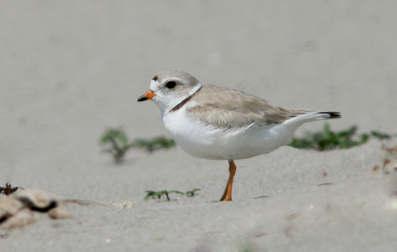 We were fortunate enough to find a pair of Piping Plovers on the beach at Searston - the female tending to a nest. Every nest is a positive sign for this endangered species, especially in Newfoundland where appropriate habitat (large sandy beaches) is somewhat rare in its own right.