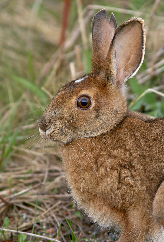 This Snowshoe Hare was munching grass along the roadside during my first morning out. I saw numerous during the week, suggesting it has been a good spring for them.