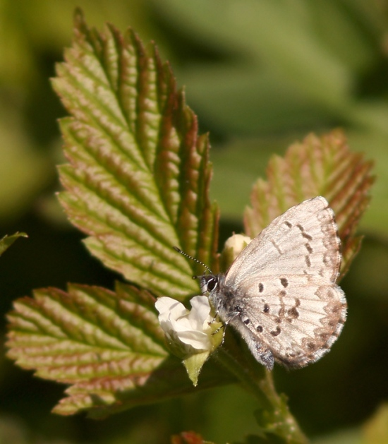 There were a few early butterflies enjoying the sun, including Spring Azures like this one.