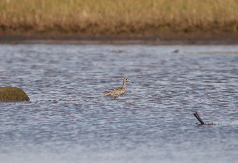 Another locally uncommon shorebird is Willet. Although a small number do breed a at one or two locations further north along the coast, spotting one in the Codroy Valley was notable.