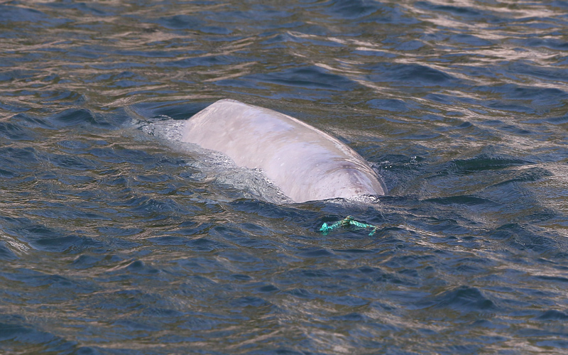 A small length of rope floating near the wharf provided several minutes of entertainment for this young Beluga.