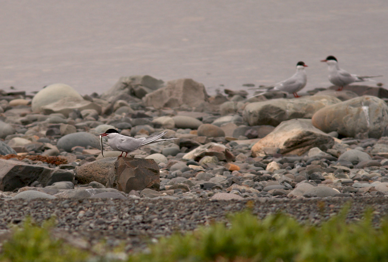 Arctic Terns sit on the beach at Holyrood Pond, showing off their catch.