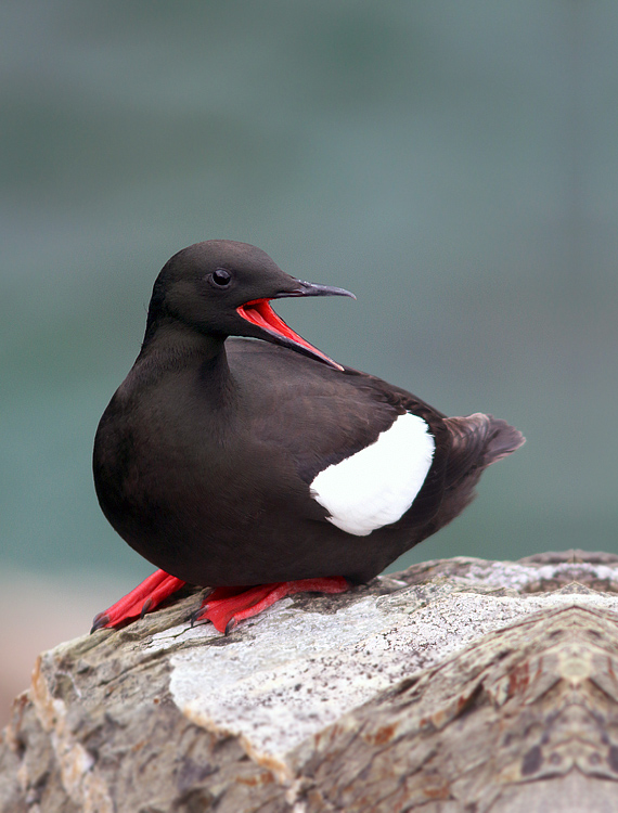 This Black Guillemots proved to be among my favourite photo subjects this summer. We see many of them on tours, but not often on land at such close range.