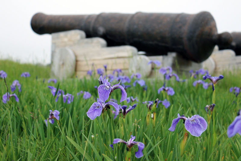 Blue Flag Irises flank a cannon that still stands guard at the entrance to Trinity's storied harbour.