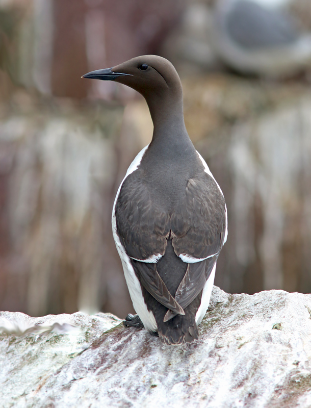 Common Murres breed in several large colonies around the Newfoundland coast, especially at Witless Bay Ecological Reserve where several hundred thousand can be seen on boat tours!
