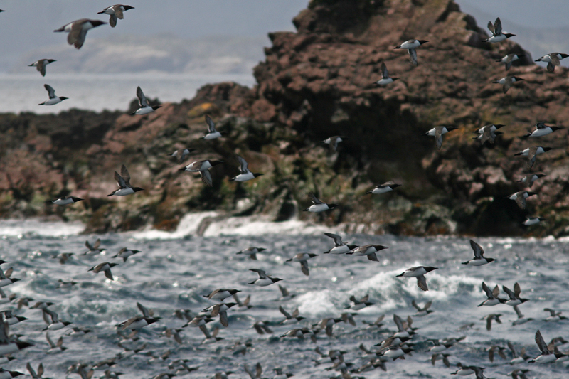 The sheer number of seabirds, including Common Murre, can overwhelm visitors to Witless Bay Ecological Reserve. Here a small flurry zip past our boat.