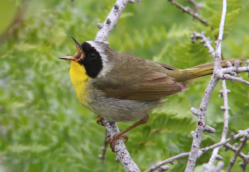 "A Common Yellowthroat announces its territory - probably trying to ""shoo"" away the humans that are traipsing along the trail."