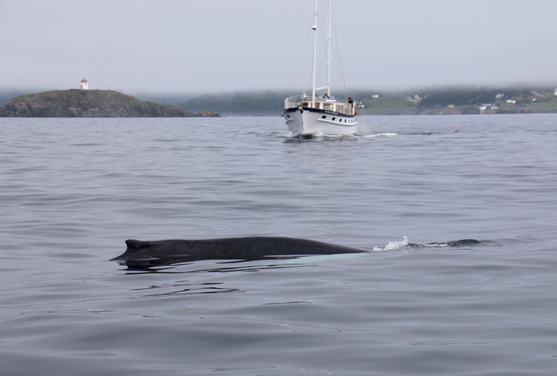 Of course, Humpback Whales are the real showboats of the North Atlantic, and they didn't disappoint.