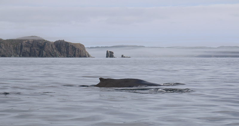 A Humpback Whale cruises past some beautiful sea stacks in Trinity Bay.