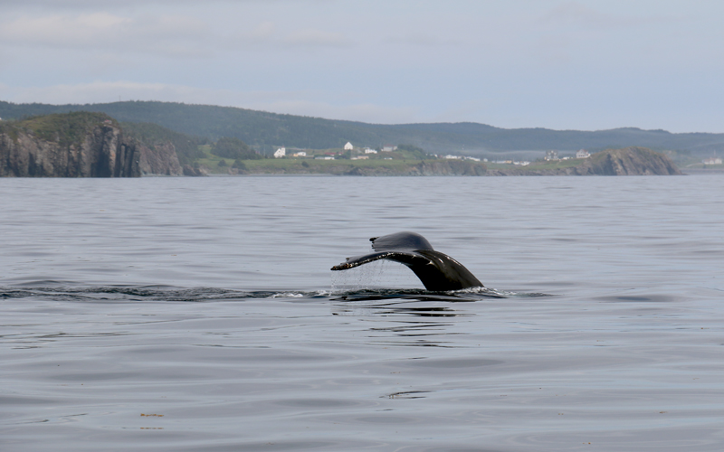 Here, a young Humpback does a sounding dive with the historic town of Trinity in the background.