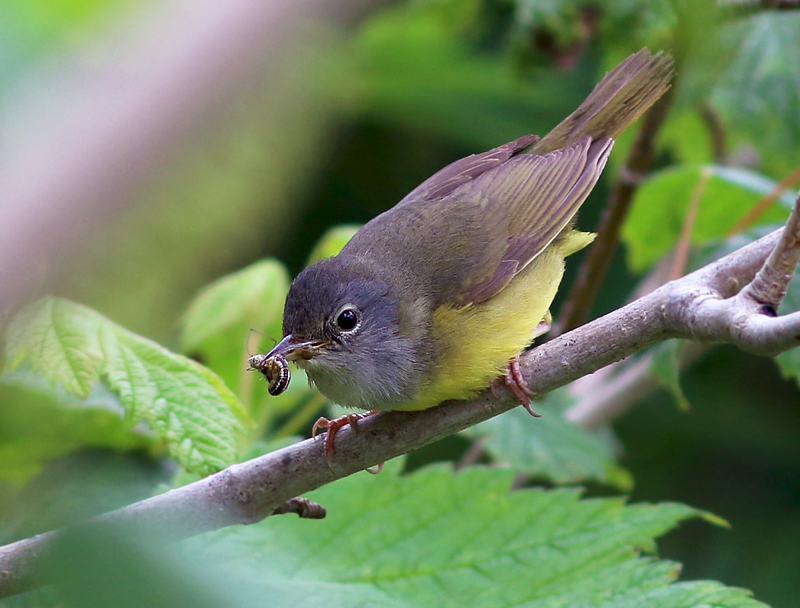 A female Mourning Warbler was spotted carrying food. This is a very scarce breeder on the Avalon Peninsula, but becomes more common further west on the island.