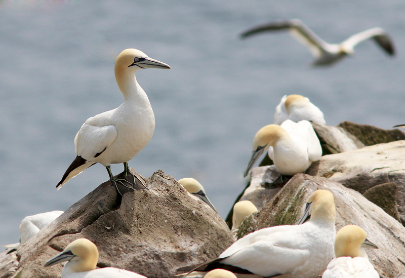 Northern Gannets are among the most majestic seabirds in the world, and we enjoyed stunning looks at thousands of them at Cape St. Mary's Ecological Reserve.