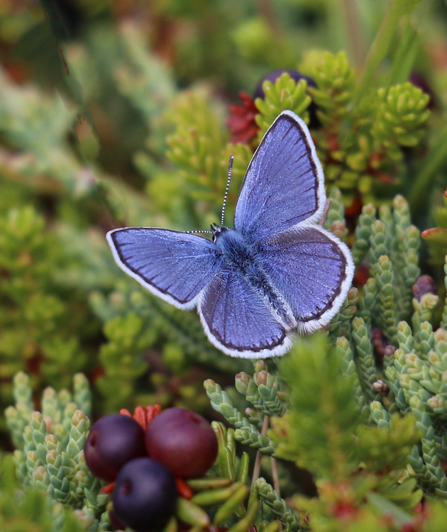 Some very classy butterflies also made the highlight list, including the small but brilliant Northern Blue.