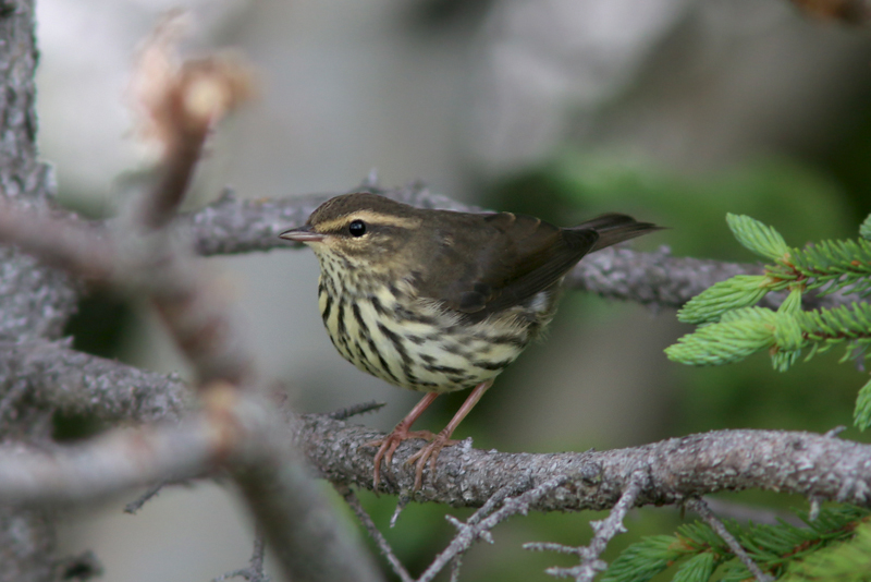 A Northern Waterthrush poses for a photo during on of our morning bird walks.