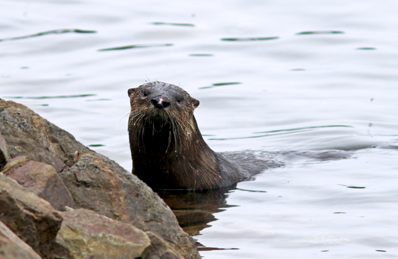 An Otter stakes claim to his little piece of shoreline.