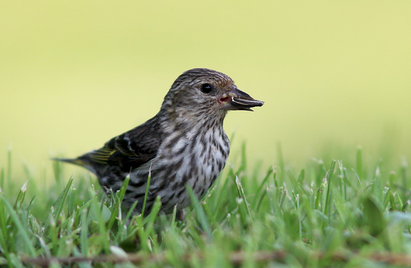 Pine Siskins are among my favourite birds -- understated but beautiful and fun to watch.